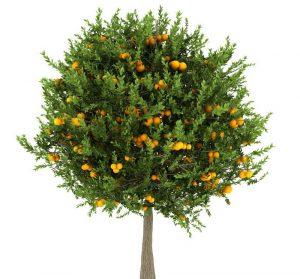 Citrus Tree Riverside